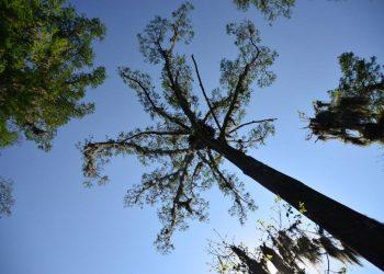 gal1.tree